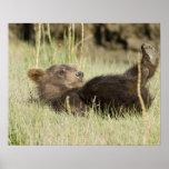 USA. Alaska. Coastal Brown Bear cub at Silver 2 Poster