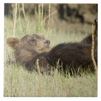 USA. Alaska. Coastal Brown Bear cub at Silver 2 Tile