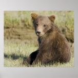 USA. Alaska. Coastal Brown Bear cub at Silver 3 Poster