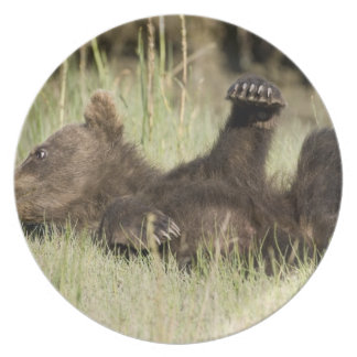 USA. Alaska. Coastal Brown Bear cub at Silver Dinner Plate