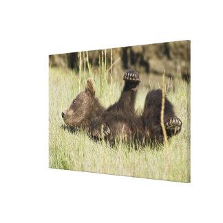 USA. Alaska. Coastal Brown Bear cub at Silver Stretched Canvas Print