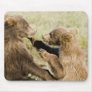 USA. Alaska. Coastal Brown Bear cubs at Silver Mouse Mat