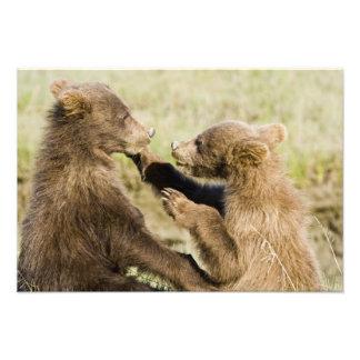 USA. Alaska. Coastal Brown Bear cubs at Silver Photo Print