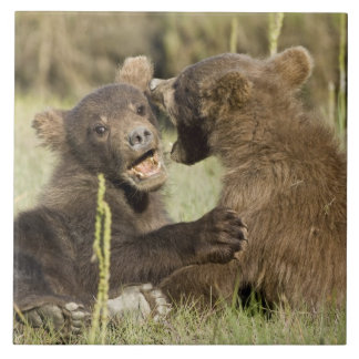 USA. Alaska. Coastal Brown Bear cubs at Silver Tile