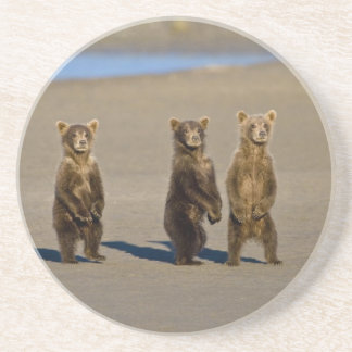 USA. Alaska. Coastal Brown Bear cubs watch their Coaster