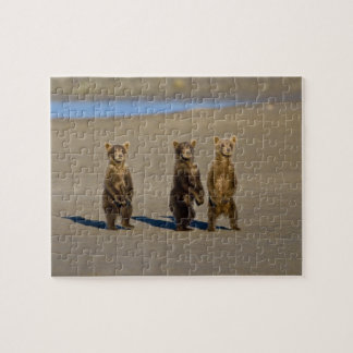 USA. Alaska. Coastal Brown Bear cubs watch their Jigsaw Puzzle