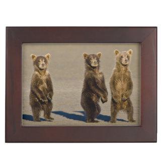 USA. Alaska. Coastal Brown Bear cubs watch their Keepsake Box