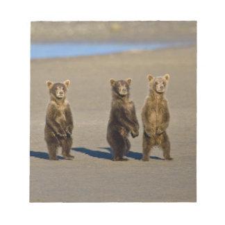 USA. Alaska. Coastal Brown Bear cubs watch their Notepad