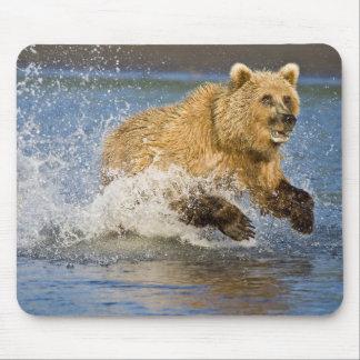 USA. Alaska. Coastal Brown Bear fishing for 2 Mouse Pad