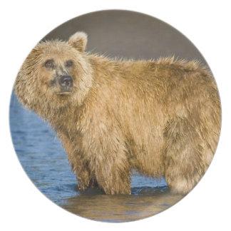 USA. Alaska. Coastal Brown Bear fishing for Dinner Plate