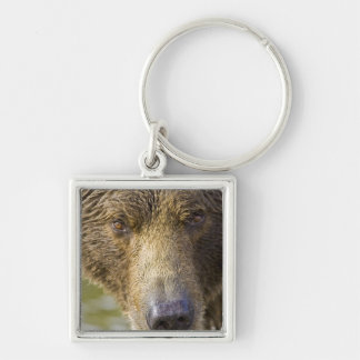USA. Alaska. Concentration-A coastal brown bear Silver-Colored Square Key Ring
