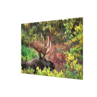 USA, Alaska, Denali National Park, Bull Moose Canvas Print