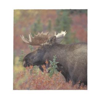 USA, Alaska, Denali National Park Bull moose in Notepad