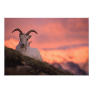 USA, Alaska, Denali National Park, Dall's Photo Print
