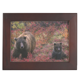 USA, Alaska, Denali National Park. Grizzly bear Keepsake Box