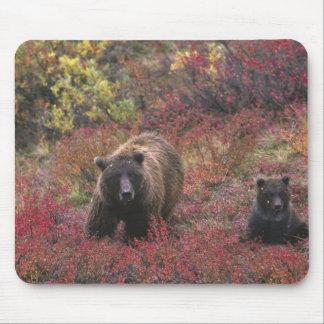 USA, Alaska, Denali National Park. Grizzly bear Mouse Pad