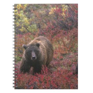 USA, Alaska, Denali National Park. Grizzly bear Spiral Notebook