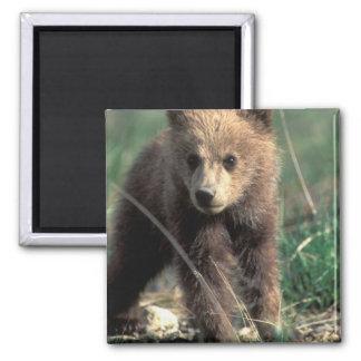 USA, Alaska, Denali National Park, Grizzly Magnet