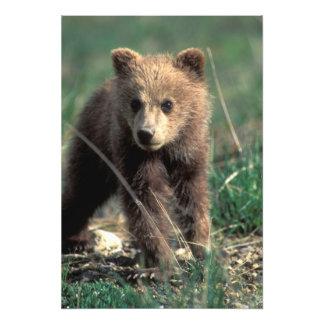 USA, Alaska, Denali National Park, Grizzly Photo Print