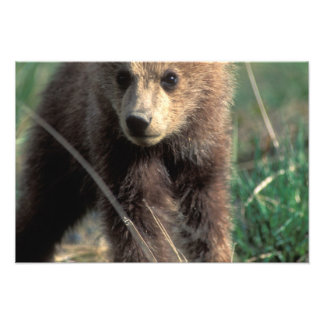 USA, Alaska, Denali National Park, Grizzly Photo Print