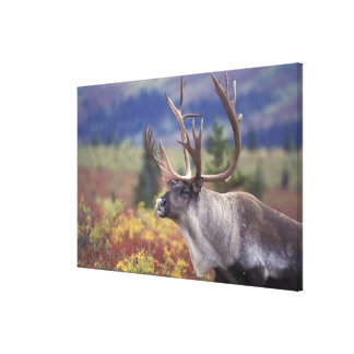 USA, Alaska, Denali NP, Caribou in fall tundra. Canvas Print
