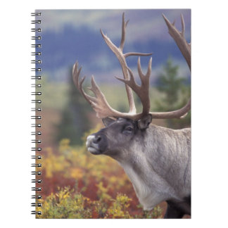 USA, Alaska, Denali NP, Caribou in fall tundra. Notebooks