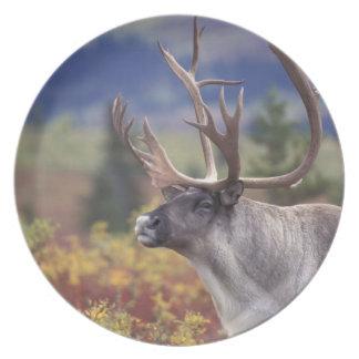 USA, Alaska, Denali NP, Caribou in fall tundra. Plate