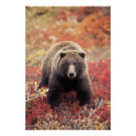 USA, Alaska, Denali NP, female Grizzly Bear