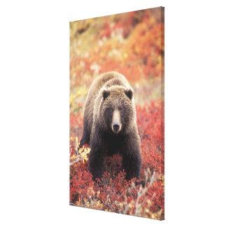 USA, Alaska, Denali NP, female Grizzly Bear Canvas Print
