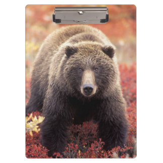 USA, Alaska, Denali NP, female Grizzly Bear Clipboard
