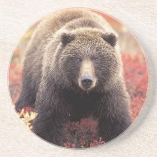 USA, Alaska, Denali NP, female Grizzly Bear Coaster