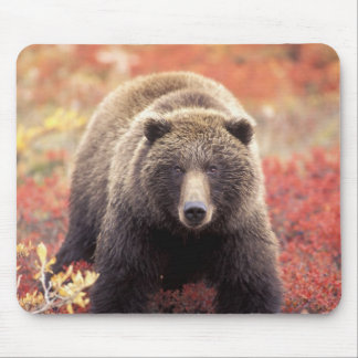 USA, Alaska, Denali NP, female Grizzly Bear Mouse Mat