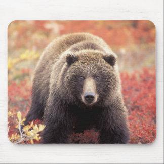 USA, Alaska, Denali NP, female Grizzly Bear Mouse Pad
