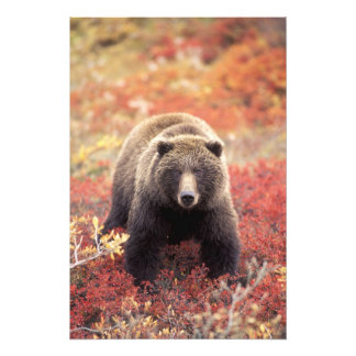 USA, Alaska, Denali NP, female Grizzly Bear Photo Print