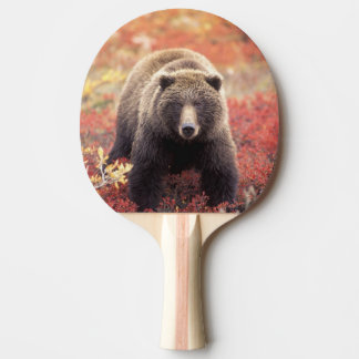 USA, Alaska, Denali NP, female Grizzly Bear Ping Pong Paddle