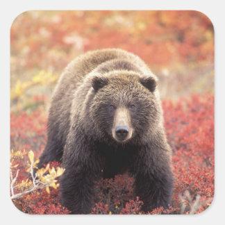 USA, Alaska, Denali NP, female Grizzly Bear Square Sticker