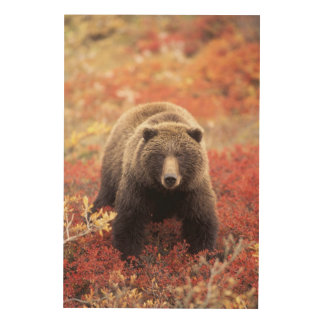 USA, Alaska, Denali NP, female Grizzly Bear Wood Print