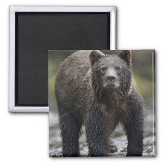 USA, Alaska, Freshwater Bay, Brown Grizzly) Fridge Magnet