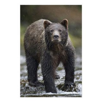 USA, Alaska, Freshwater Bay, Brown Grizzly) Photo Print