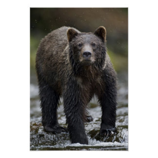 USA, Alaska, Freshwater Bay, Brown Grizzly) Poster