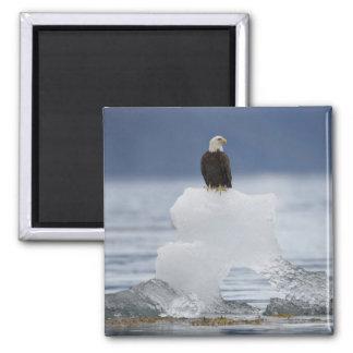 USA, Alaska, Holkham Bay, Bald Eagle Fridge Magnet