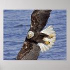 USA, Alaska, Homer. Bald eagle diving above Poster