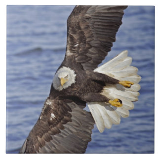 USA, Alaska, Homer. Bald eagle diving above Tile