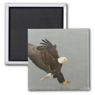 USA, Alaska, Homer. Bald eagle in landing Magnet