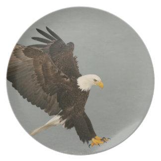 USA, Alaska, Homer. Bald eagle in landing Plate