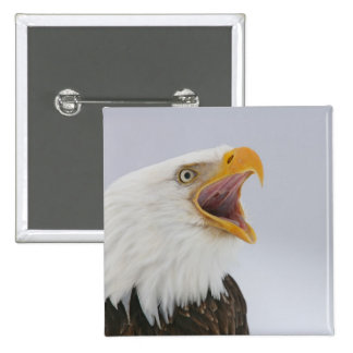 USA, Alaska, Homer. Bald eagle screaming. Credit 15 Cm Square Badge