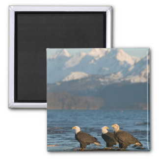 USA, Alaska, Homer, Bald Eagles Haliaeetus Square Magnet