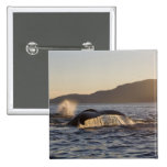 USA, Alaska, Humpback Whale Megaptera Pinback Buttons