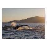 USA, Alaska, Humpback Whale Megaptera Greeting Card