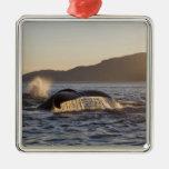 USA, Alaska, Humpback Whale Megaptera Ornaments
